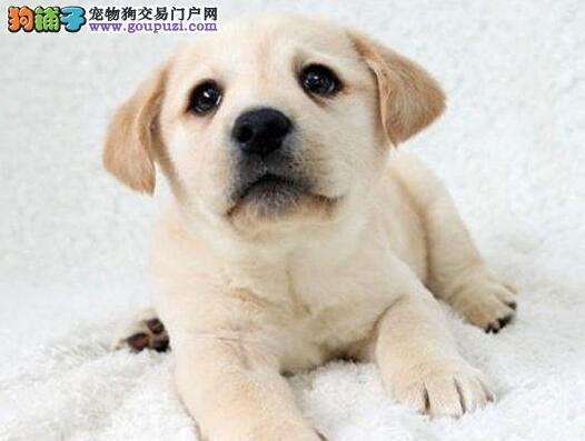 上海售纯种拉布拉多幼犬健康纯种协议质保 拉拉 导盲犬