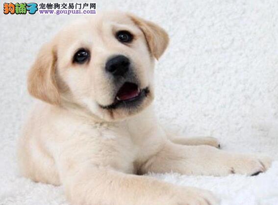 北京售精品拉布拉多幼犬 高智商伴侣犬 小拉 导盲犬