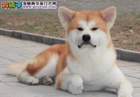 高信誉犬舍出售精品纯种北京秋田犬可办理证书