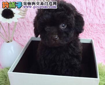 极品泰迪犬出售,全程实拍直接视频,签署合同质保1