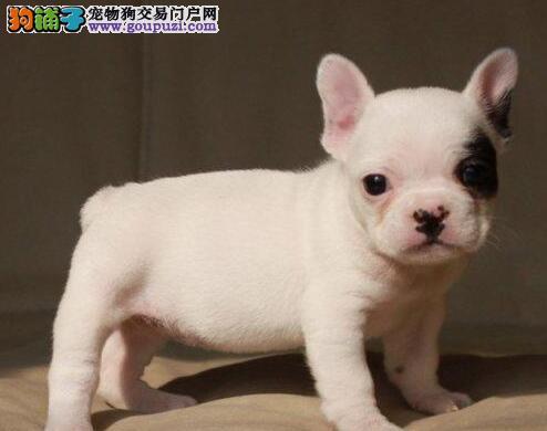 憨萌法牛出售 黑白法牛蓝法牛幼犬 购犬签协议 送狗用品