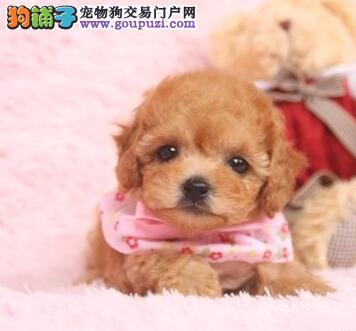 无锡南昌自家繁殖多只泰迪犬出售中公母都有保血统