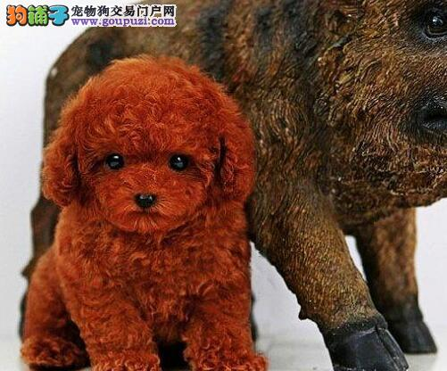 国际注册犬舍 出售极品赛级泰迪犬幼犬同城免费送货上门1