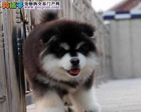 优惠价转让深圳阿拉斯加雪橇犬 血统纯正已做好疫苗