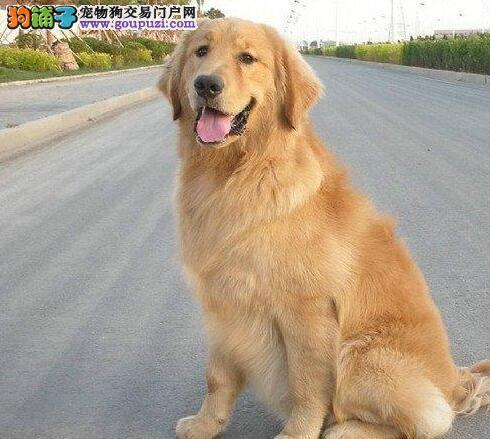 国际注册犬舍 出售极品赛级金毛幼犬我们承诺售后三包