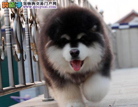 广州高品质巨型阿拉斯加雪橇犬转让纯正血统可退换