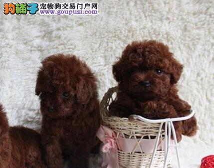 国际注册犬舍 出售极品赛级泰迪犬幼犬同城免费送货上门2