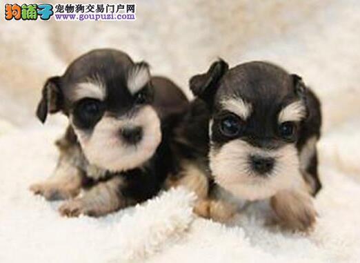 武汉本地犬舍直销白胡子雪纳瑞幼犬防疫完毕三证齐全