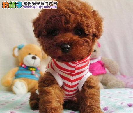 国际注册犬舍 出售极品赛级泰迪犬幼犬同城免费送货上门4