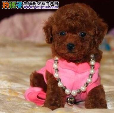纯种优秀韩系泰迪犬特价出售 西安市内可免费送狗1