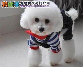 专业实体店促销好品质贵宾犬包头市区购买送用品