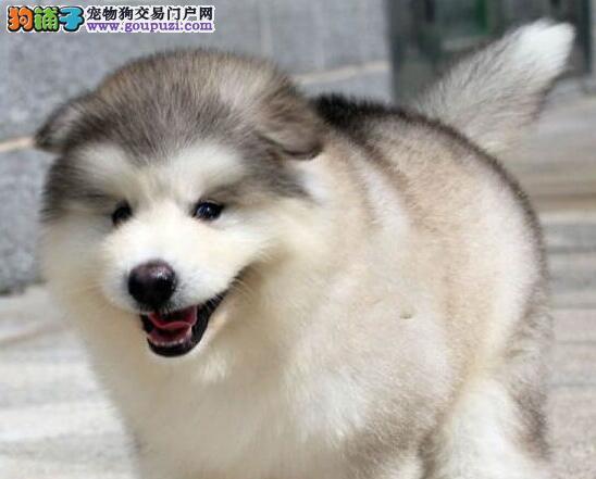 阿拉斯加雪橇犬,可当面选购