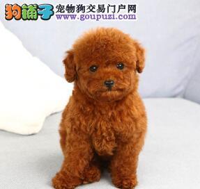 为什么泰迪犬总是莫名其妙的抓痒痒