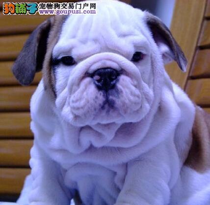促销大鼻筋斗牛犬 北京同城可免送狗可赠送狗用品