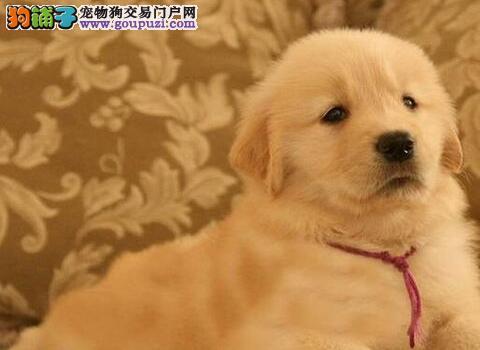 自家狗场转让血统纯正金毛犬上海市区可送货