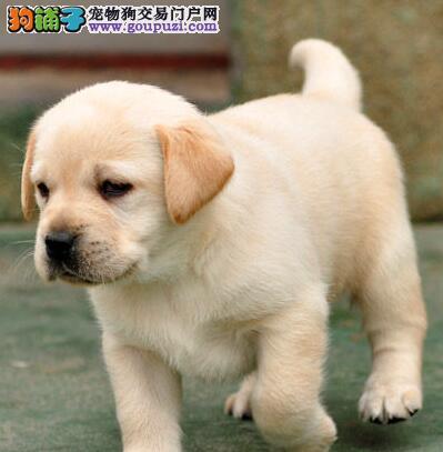 重庆出售纯种大骨架导盲犬拉布拉多犬可以见狗狗父母