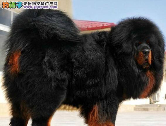 深圳知名獒园超低价转让藏獒幼崽 大狮子头血统纯正