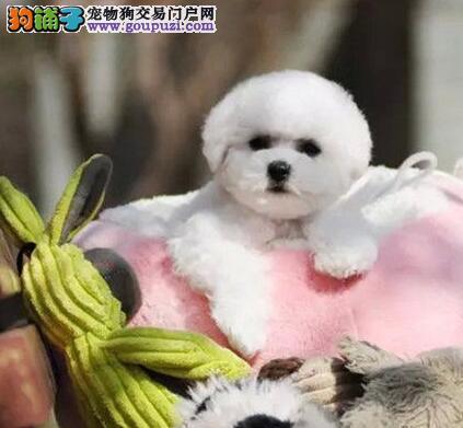 自家繁殖好品相包头比熊犬保证纯种可见父母