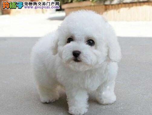 三门峡市出售比熊犬健康白色粉扑芭比熊幼犬公母全
