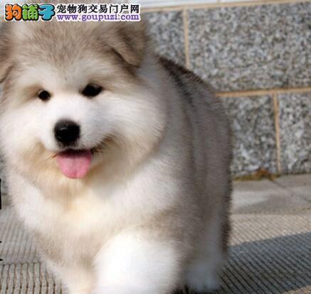 巨型阿拉斯加幼犬出售 《7折优惠》 纯血种 终身质保