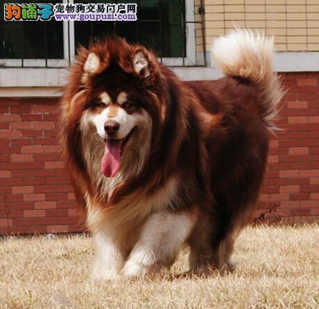 三亚CKU认证犬舍出售高品质阿拉斯加犬喜欢它的快来