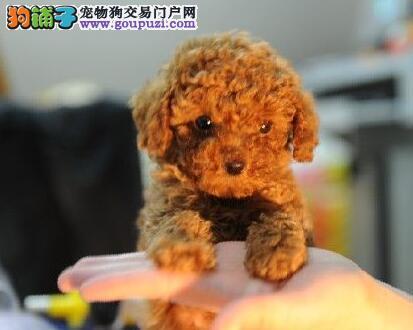 果洛州出售颜色齐全身体健康贵宾犬期待您的来电咨询