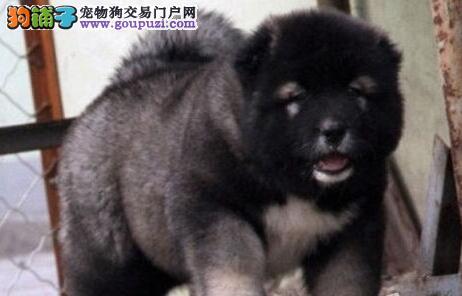 极品大骨版高加索犬 购买签署协议 保纯种健康 包售后