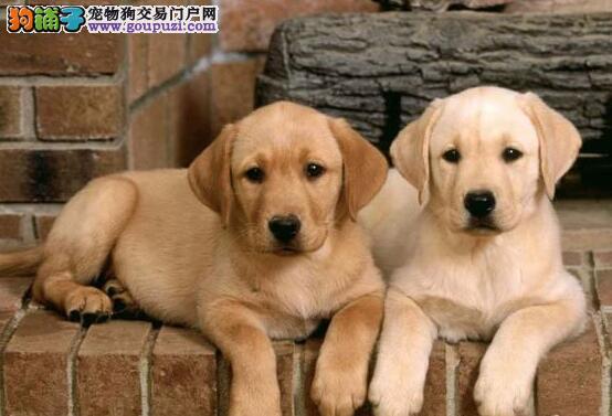 青岛精品纯血统拉布拉多 品相好骨量大 来家见种犬
