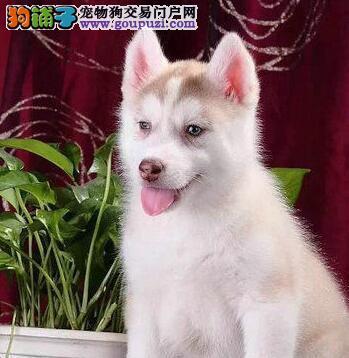 苏州正规犬舍出售宠物级哈士奇犬赛级哈士奇签订协议