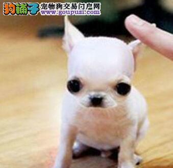 很粘人 也很可爱的吉娃娃幼犬银川找新家 很聪明的哦