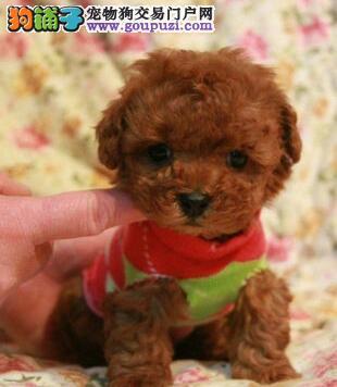 上海赛级精品泰迪犬颜色齐全疫苗驱虫已做可送上门1