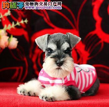 海口CKU认证犬舍出售高品质雪纳瑞 可签订购犬协议