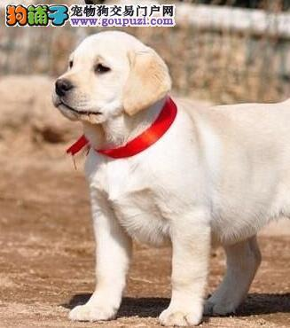 养殖场促销精品大连拉布拉多犬疫苗齐全保证健康