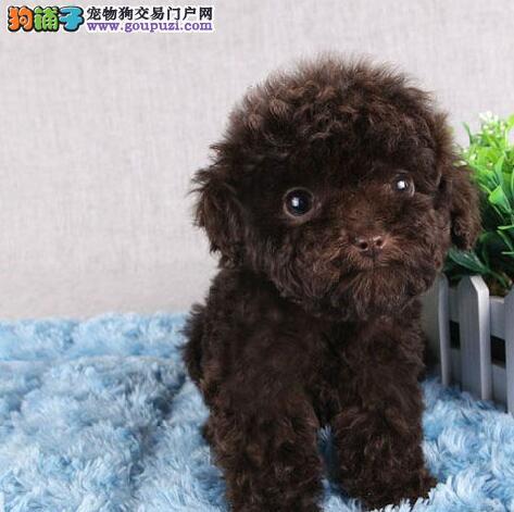 延安泰迪犬宝宝出售保证健康品质优良专业喂养精心繁殖3