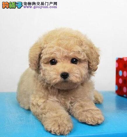 延安泰迪犬宝宝出售保证健康品质优良专业喂养精心繁殖1