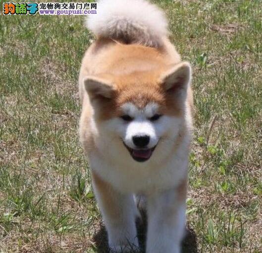 专业出售精品福州秋田犬可签协议包纯种健康4
