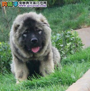 有猛兽之称的高加索犬武汉火爆热销中 签协议保售后