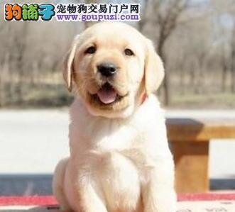 亳州优质拉布拉多犬健康 纯种 加微信随时视频选狗