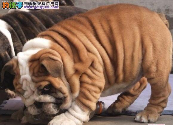 哈尔滨专业狗场出售优质斗牛犬 可赠送狗笼子和狗用品