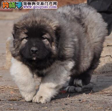曲靖高大威猛护卫犬高加索犬 看家护院好帮手巨型熊版