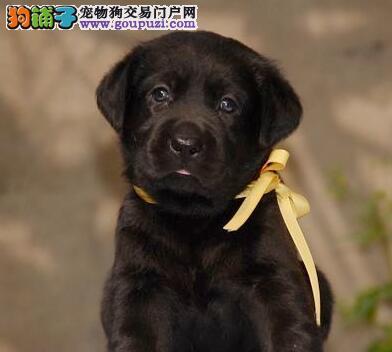 转让纯种血统的汕头拉布拉多犬 颜色齐全签协议1