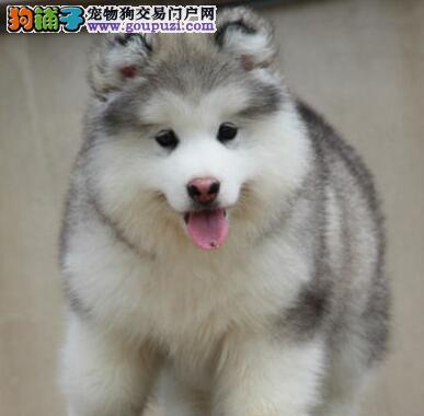 基地直销超高品质太原阿拉斯加雪橇犬包售后