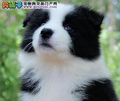上海市出售边境牧羊犬 质量三包 驱虫疫苗已做 签协议