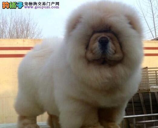 高品质大嘴紫舌松狮犬青岛自家犬舍繁殖现便宜出售哪里有卖