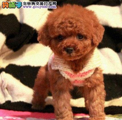 芜湖纯种韩系泰迪熊茶杯玩具泰迪犬可爱至极购买签协议3