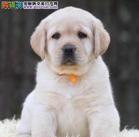 合肥出售聪明导盲犬小拉布拉多犬 骨架大 品相好血统正