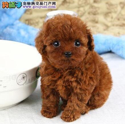 芜湖纯种韩系泰迪熊茶杯玩具泰迪犬可爱至极购买签协议4