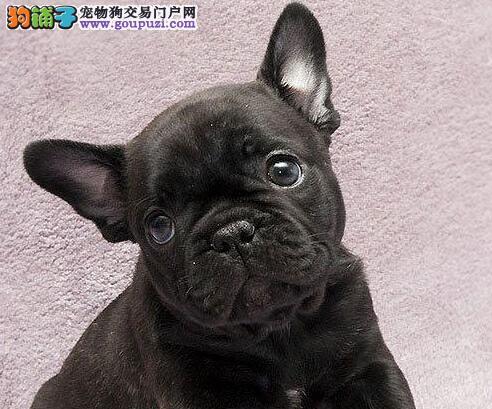 南京市出售法国斗牛犬 公母都有 疫苗齐全 签售后协议