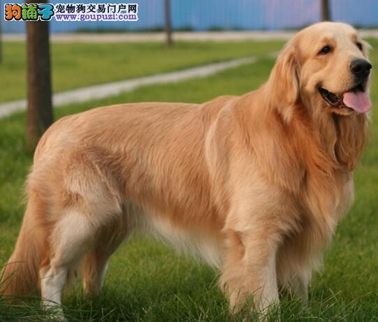 基地转让顶级血统金毛犬杭州地区可送货上门