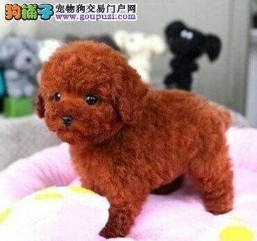 赛级品相泰迪犬幼犬低价出售诚信信誉为本3